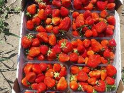 Strawberry Ukraine - photo 2