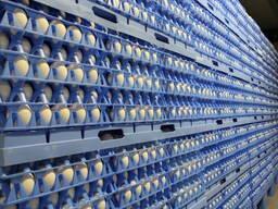 Koorumist muna broiler ROSS-308