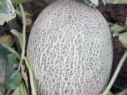 Melon for Export/ Дыня на Экспорт - фото 2