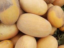 Melon for Export/ Дыня на Экспорт - фото 3
