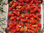 Strawberry Ukraine - фото 2